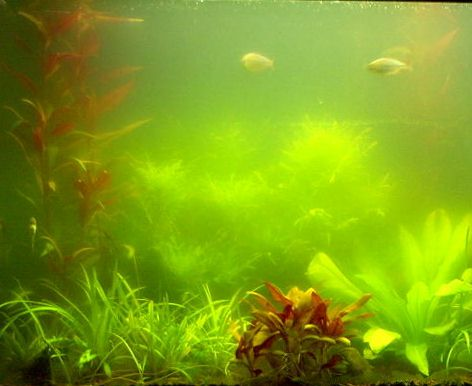 Battling green water for Cloudy water fish tank